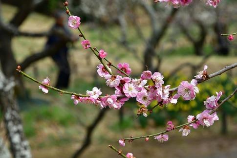 2018-03-11  A-Resized  国営武蔵丘陵森林公園(梅園ほか)‥ (14).jpg