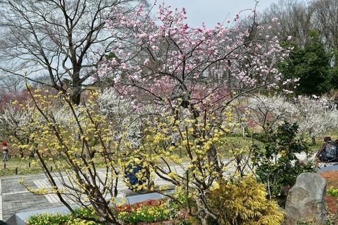 2018-03-11  A-Resized  国営武蔵丘陵森林公園(梅園ほか)‥ (6).jpg