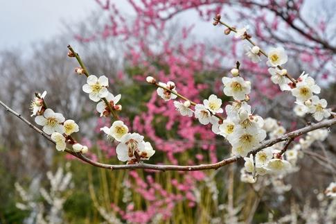 2018-03-11  A-Resized  国営武蔵丘陵森林公園(梅園ほか)‥ (8).jpg