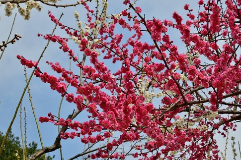 2018-03-11  A-Resized  国営武蔵丘陵森林公園(梅園ほか)‥ (9).jpg