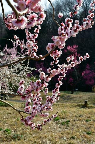 2018-03-11  A-Resized  国営武蔵丘陵森林公園(梅園)‥ (1).jpg