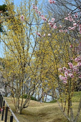 2018-03-11  A-Resized  国営武蔵丘陵森林公園(梅園)‥ (2).jpg