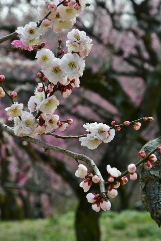 2018-03-11  A-Resized  国営武蔵丘陵森林公園(梅園)‥ (3).jpg