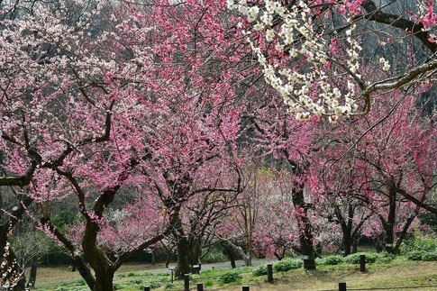 2018-03-11  B-Resized  国営武蔵丘陵森林公園(梅園)‥ (12).jpg