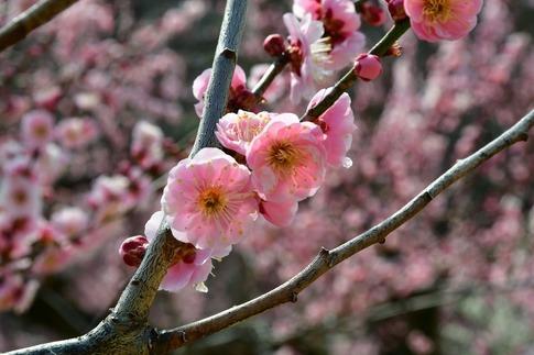 2018-03-11  B-Resized  国営武蔵丘陵森林公園(梅園)‥ (2).jpg