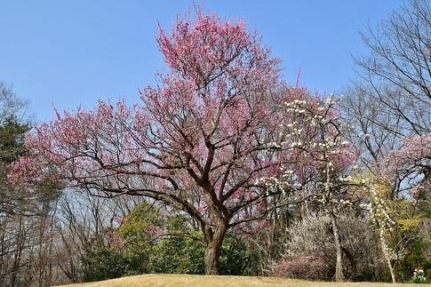 2018-03-11  B-Resized  国営武蔵丘陵森林公園(梅園)‥ (8).jpg