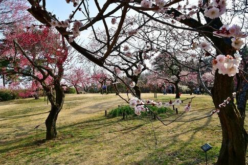 2018-03-11  C-Resized  国営武蔵丘陵森林公園(梅園)‥ (1).jpg