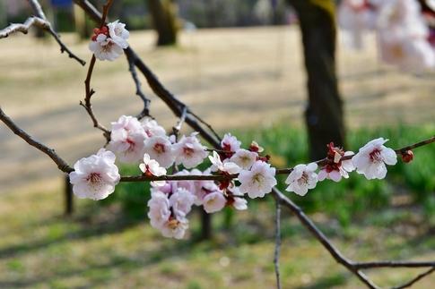 2018-03-11  C-Resized  国営武蔵丘陵森林公園(梅園)‥ (2).jpg