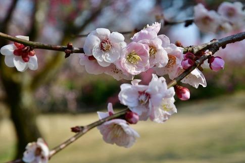 2018-03-11  C-Resized  国営武蔵丘陵森林公園(梅園)‥ (3).jpg