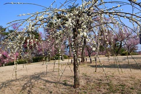 2018-03-11  C-Resized  国営武蔵丘陵森林公園(梅園)‥ (4).jpg
