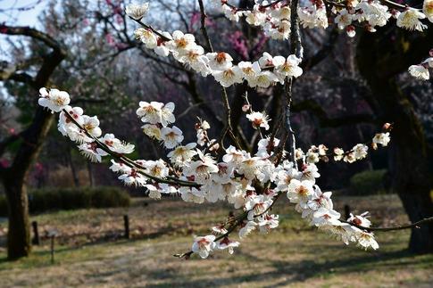 2018-03-11  C-Resized  国営武蔵丘陵森林公園(梅園)‥ (5).jpg