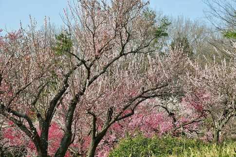 2018-03-11  C-Resized  国営武蔵丘陵森林公園(梅園)‥ (7).jpg