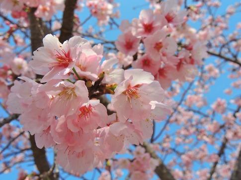 2018-03-18  Resized  早咲きの桜‥ (5).jpg