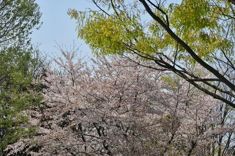 2018-04-01  A-Resized  多々良沼公園‥(群馬県邑楽町)‥ (10).jpg