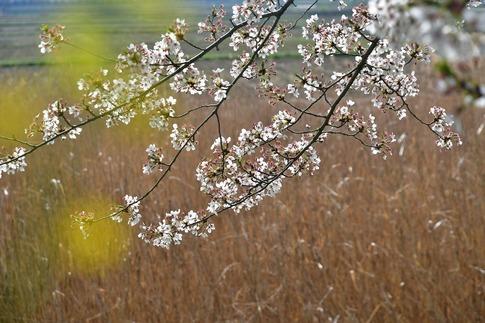 2018-04-01  A-Resized  多々良沼公園‥(群馬県邑楽町)‥ (16).jpg