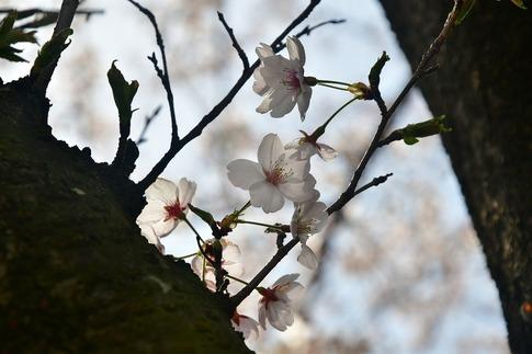 2018-04-01  A-Resized  多々良沼公園‥(群馬県邑楽町)‥ (3).jpg