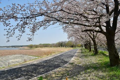 2018-04-01  A-Resized  多々良沼公園‥(群馬県邑楽町)‥ (4).jpg