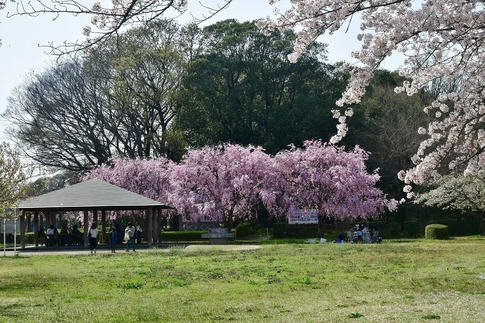 2018-04-01  C-Resized  多々良沼公園‥(群馬県邑楽町)‥ (10).jpg