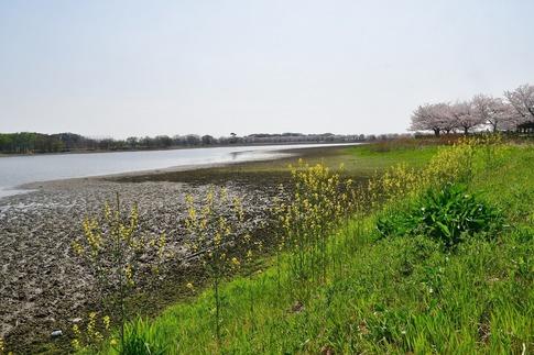 2018-04-01  C-Resized  多々良沼公園‥(群馬県邑楽町)‥ (1).jpg