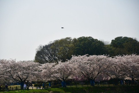 2018-04-01  C-Resized  多々良沼公園‥(群馬県邑楽町)‥ (7).jpg