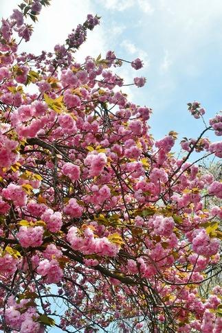 2018-04-08  Resized  十連寺の花まつり‥ (3).jpg