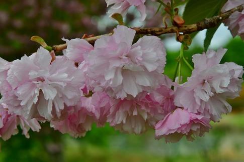 2018-04-15  B-Resized  花の丘農林公苑‥ (10).jpg