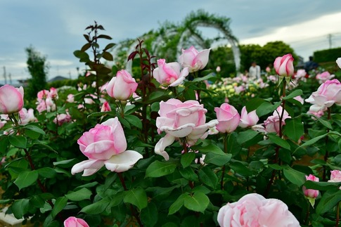 2018-05-06  D-Resized  町政施行記念公園(伊奈バラ園)‥ (3).jpg