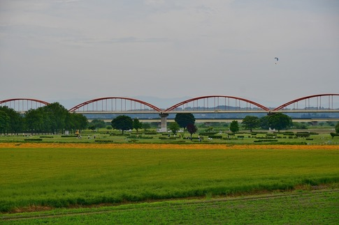 2018-05-12  A-Resized  吹上水管橋のハナビシソウ‥ (1).jpg