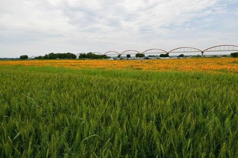 2018-05-12  A-Resized  吹上水管橋のハナビシソウ‥ (2).jpg