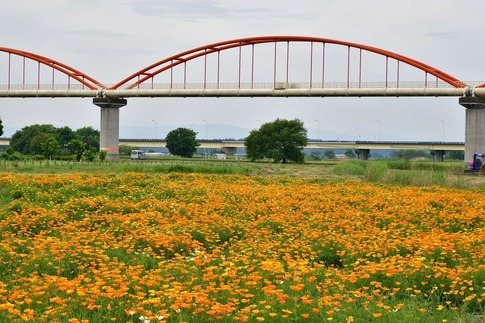 2018-05-12  A-Resized  吹上水管橋のハナビシソウ‥ (8).jpg