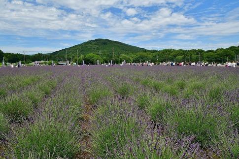 2018-06-24  A-Resized  嵐山町のラベンダー(千年の苑)‥ (1).jpg