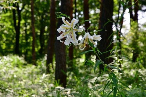 2018-07-29  Resized  ヤマユリ(真夏の武蔵丘陵森林公園)‥ (4).jpg