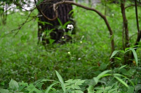 2018-07-29  Resized  レンゲショウマ(真夏の武蔵丘陵森林公園)‥ (11).jpg