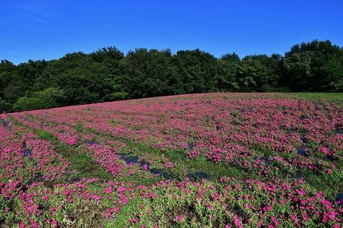 2018-09-09  Resized  ペチュニア(武蔵丘陵森林公園)‥ (1).jpg