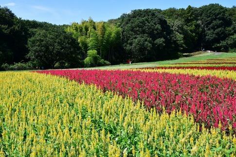 2018-09-09  Resized  羽毛ゲイトウ(武蔵丘陵森林公園)‥ (4).jpg