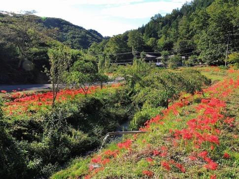2018-09-22  Resized  秩父郡皆野町下田野のヒガンバナ‥ (3).jpg