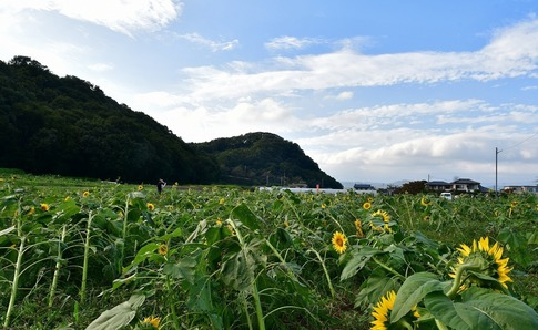 2018-10-06  Resized  ひまわり(群馬県みどり市笠懸町)‥ (16).jpg