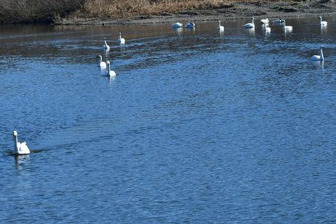 2019-01-14  A-Resized  川島の白鳥越冬地‥ (14).jpg