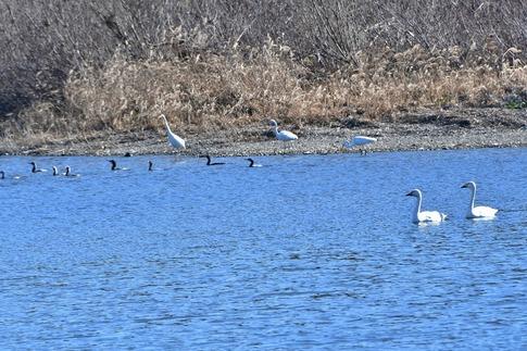 2019-01-19  A-Resized  川島の白鳥越冬地‥ (18).jpg