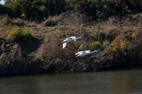 2019-01-19  A-Resized  川島の白鳥越冬地‥ (5).jpg
