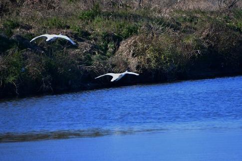 2019-01-19  A-Resized  川島の白鳥越冬地‥ (7).jpg