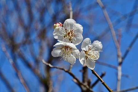 2019-02-16  A-Resized  早春の武蔵丘陵森林公園(梅)‥ (11).jpg