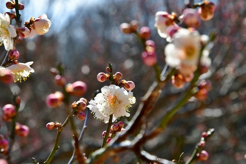 2019-02-16  A-Resized  早春の武蔵丘陵森林公園(梅)‥ (12).jpg