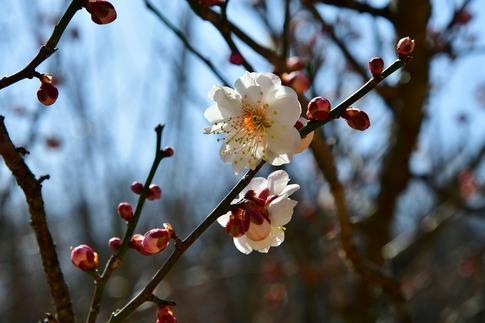 2019-02-16  A-Resized  早春の武蔵丘陵森林公園(梅)‥ (14).jpg