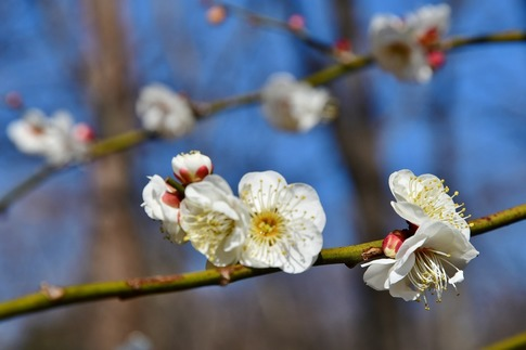 2019-02-16  A-Resized  早春の武蔵丘陵森林公園(梅)‥ (16).jpg