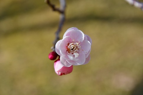 2019-02-16  A-Resized  早春の武蔵丘陵森林公園(梅)‥ (22).jpg