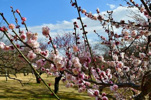 2019-02-16  A-Resized  早春の武蔵丘陵森林公園(梅)‥ (23).jpg