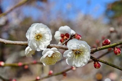 2019-02-16  A-Resized  早春の武蔵丘陵森林公園(梅)‥ (9).jpg