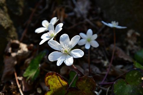 2019-03-09  Resized  早春の武蔵丘陵森林公園(オオミスミソウ)‥ (7).jpg