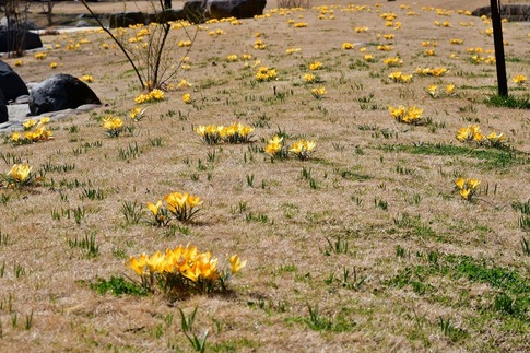 2019-03-09  Resized  早春の武蔵丘陵森林公園(クロッカス)‥ (9).jpg